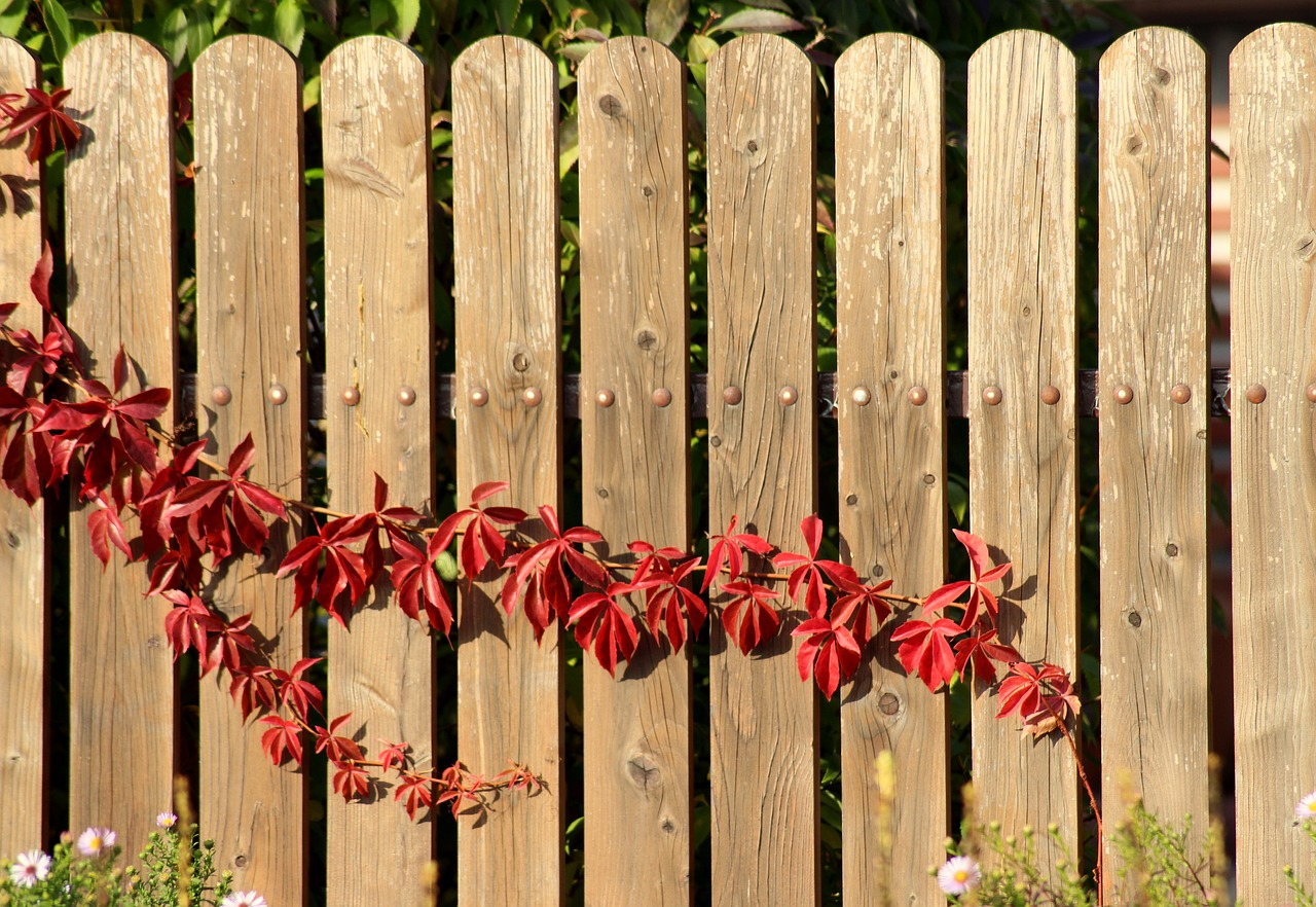vines, creeper, in the fall